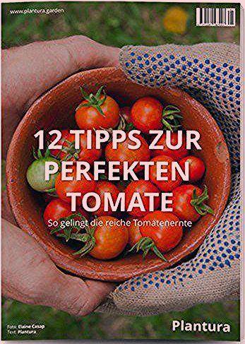 Aubertoffel: Aubergine & Kartoffel in einer Pflanze (Video-Anleitung) - Plantura