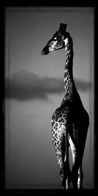 Girafe au dessus des nuages - Laurent Baheux