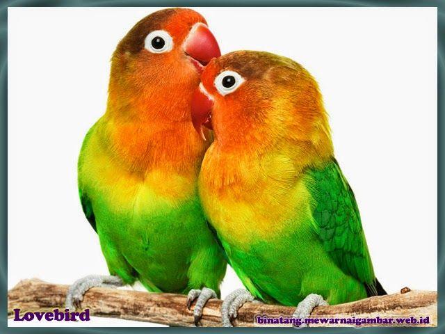 Gambar Binatang Gambar Burung Lovebird Burung Binatang Burung