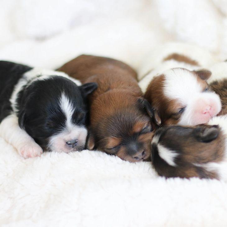 Zuchon puppies for sale in iowa