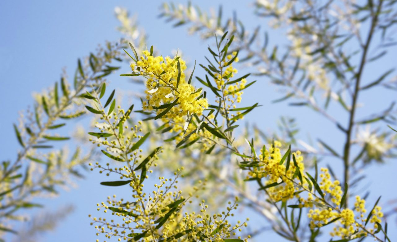Wattle tree Trees to plant, Garden design magazine
