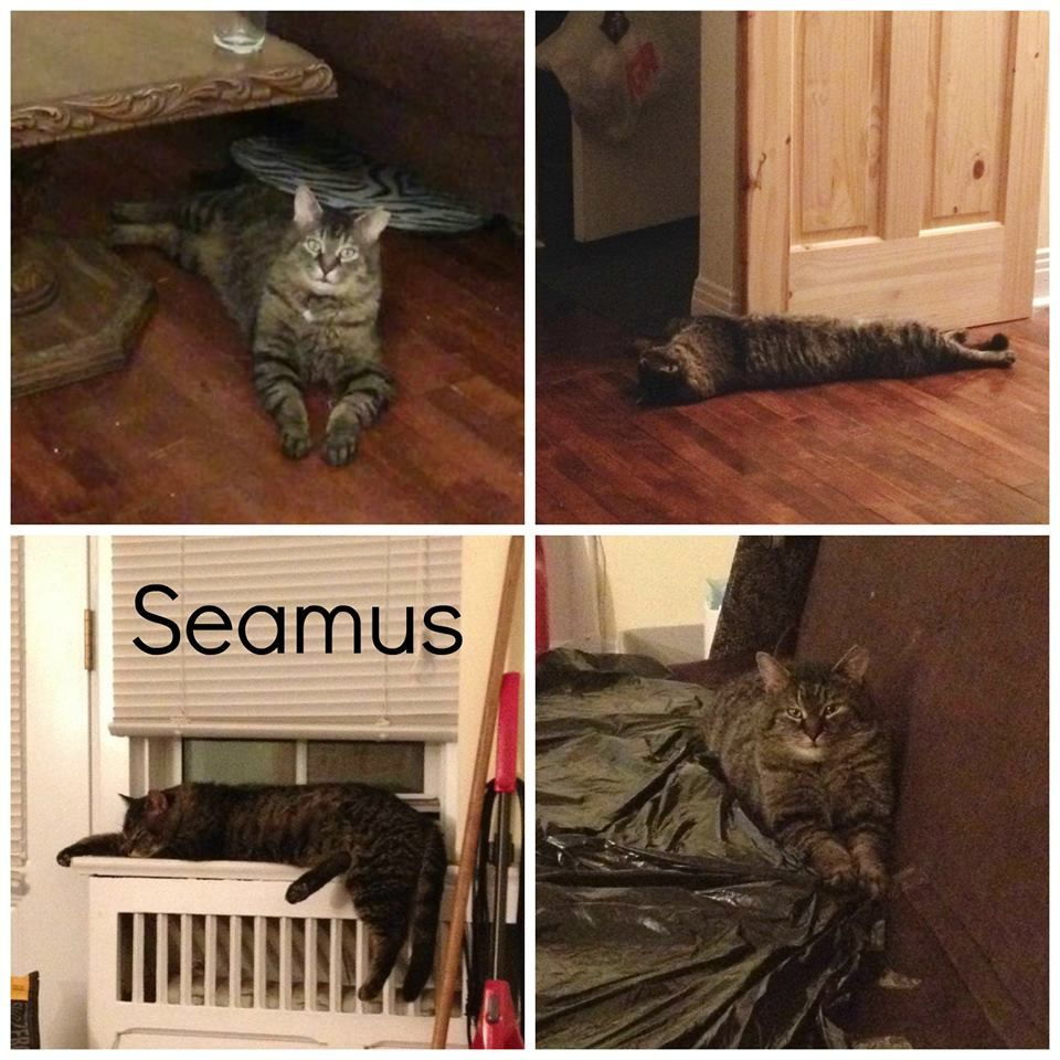 #Montreal cat rescue ~ May 8, 2017 ♥ AVAILABLE FOR ADOPTION is this sweet boy named SEAMUS <3 If you would like to adopt Seamus please email  montrealcause4paws@gmail.com + www.facebook.com/cause4paws