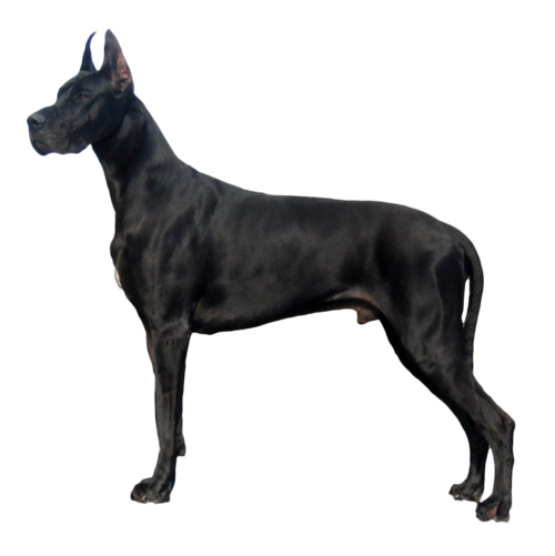 Dane Png Dog Breeds Dogs Breeds