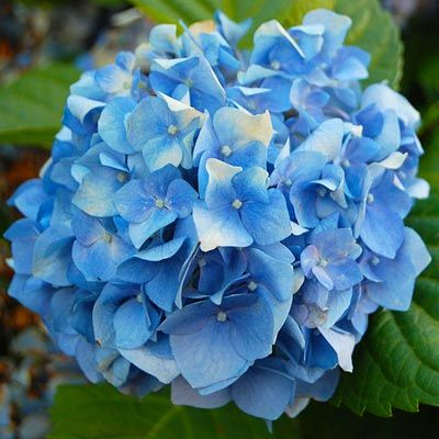 10 Uses For Coffee Grounds Grow Blue Hydrangeas By Working Into The Soil At Base Of Plants
