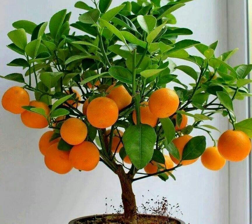 Oranger Frutiferas Em Vaso Sementes De Arvores Laranjeiras