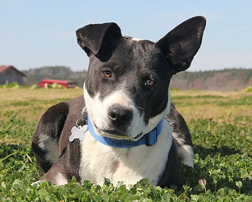 Staffordshire Bull Terrier Border Collie Mix Dog For Adoption In
