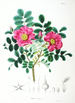 Rosa rugosa: kurtturuusu - superfoodia takapihalta!