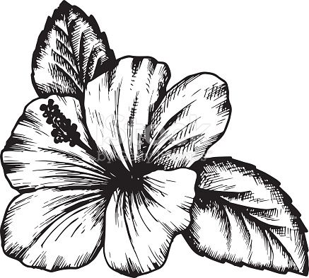 Hibiscus Flower Hand Drawn Vintage Vector Illustration Hibiscus Flower Drawing Flower Drawing Hibiscus Drawing