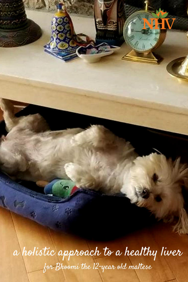 12 year old Maltipoo's holistic route to a healthy liver