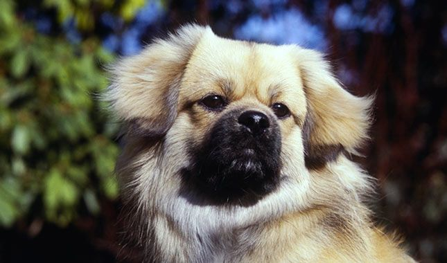 Tibetan Spaniel Dog Breed Information Tibetan spaniel