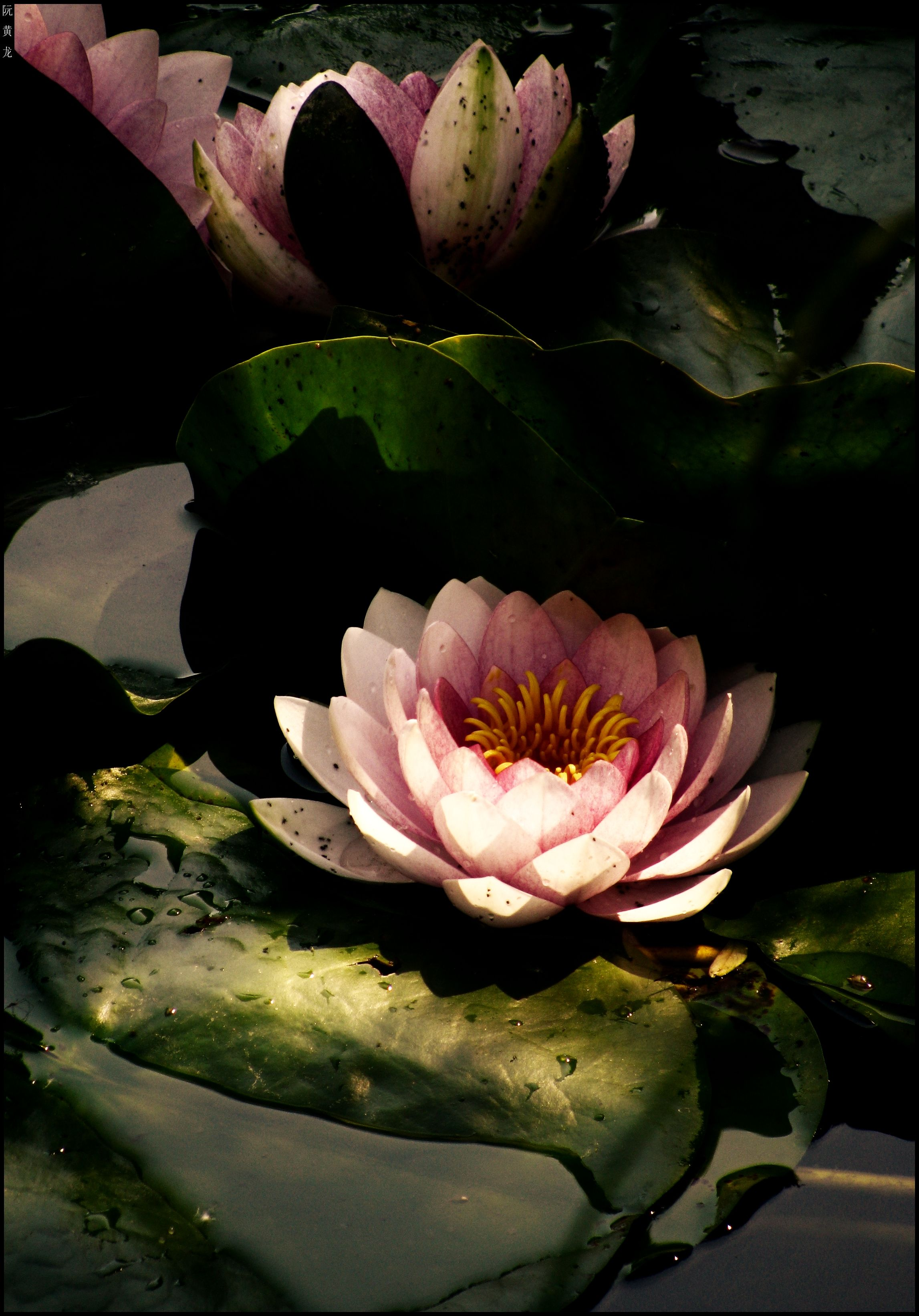 """""""The soul unfolds itself like a lotus of countless petals """" Khalil Gibran"""