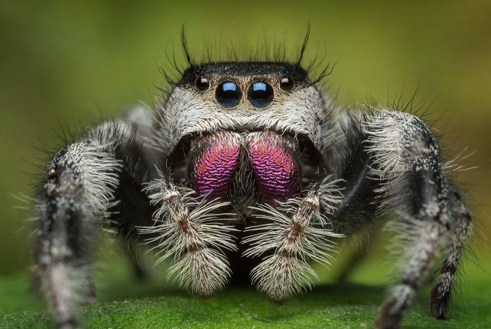 Regal Jumping Spider (Phidippus regius) | Ants and arachnids