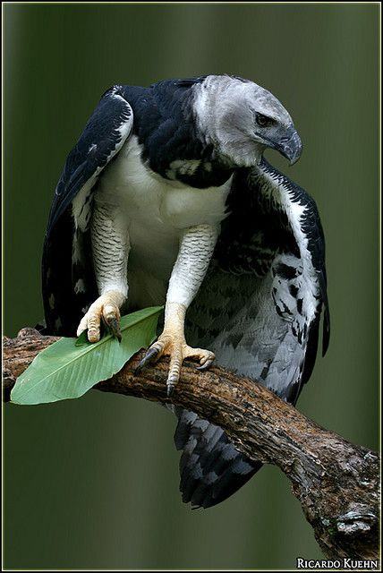**Harpy Eagle (Harpia harpyja)) MASSIVE bird. Apex predator. Talons as big as a Grizzly bear.