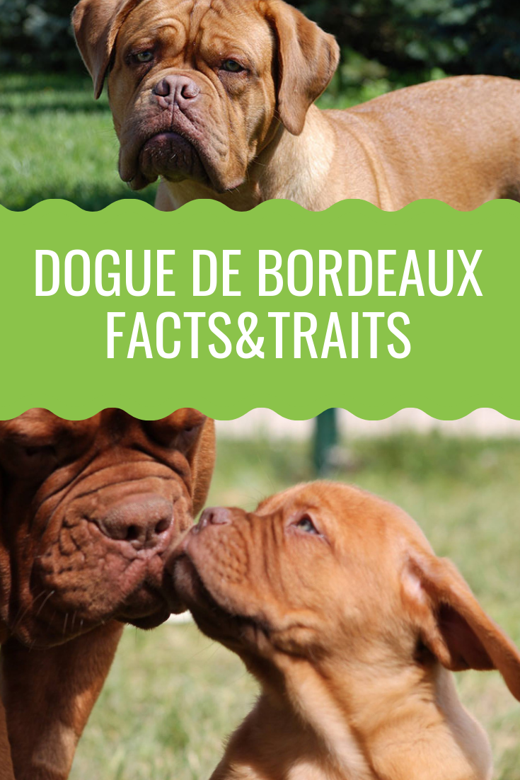 Dogue De Bordeaux Meet The French Mastiff Dog With Images