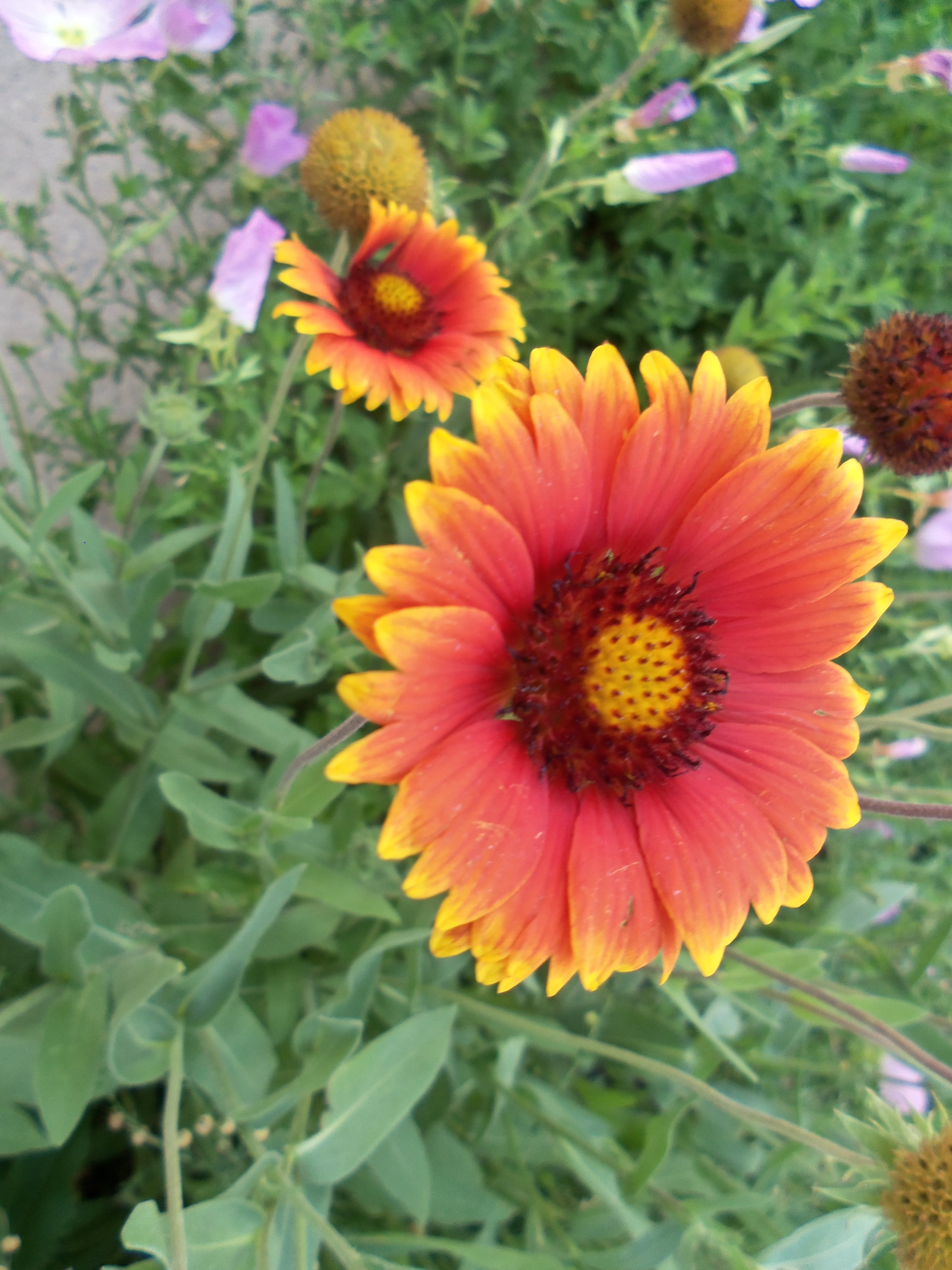 Indian Paint Brush Or Fire Wheel Flowers Nature Plants Watercolor Splash Flowers