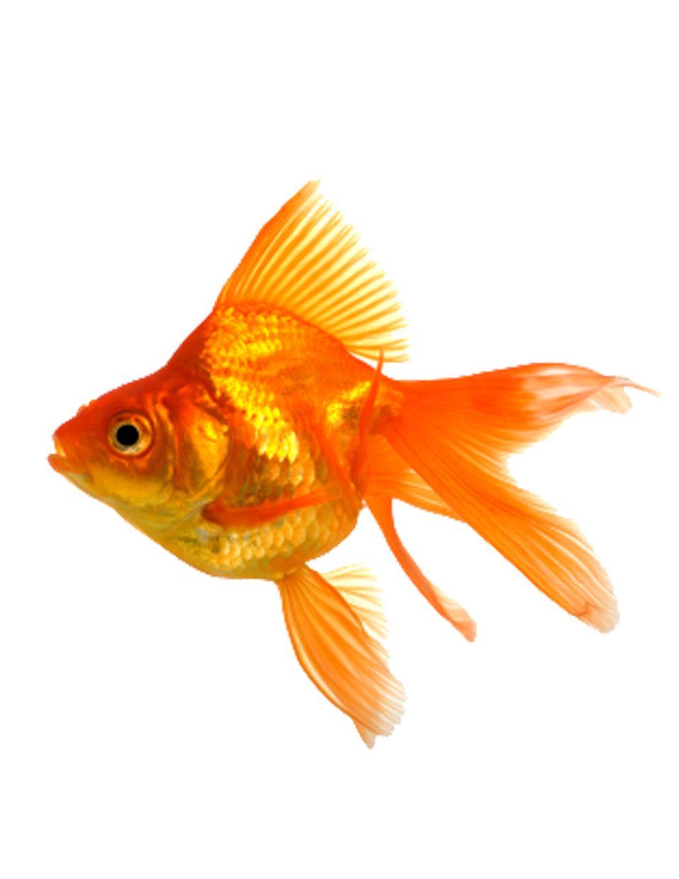 orange goldfish ile ilgili görsel sonucu