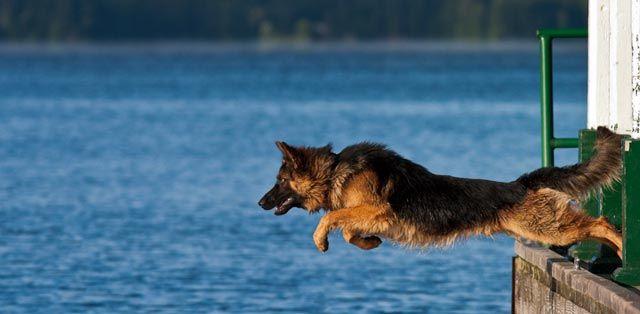 22 Pictures of German Shepherd Dogs