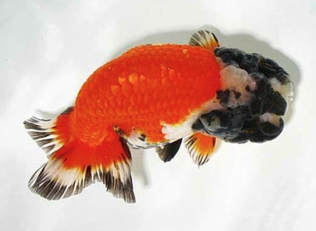 Thai Ranchu | Gold Fish and Koi | Pinterest | Goldfish, Persian cats ...