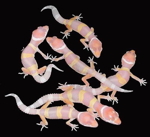 Albino Leopard Gecko Hatchlings | Leopard geckoLeopard Gecko Hatchling Care