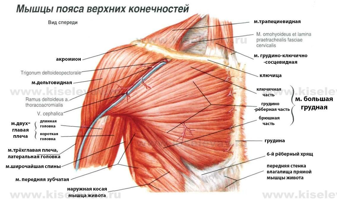 musculus pectoralis major | yoga | Pinterest | Yoga