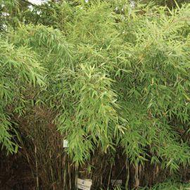 bambou non tra ant fargesia scabrida asian wonder bambous pinterest bambou pepiniere en. Black Bedroom Furniture Sets. Home Design Ideas