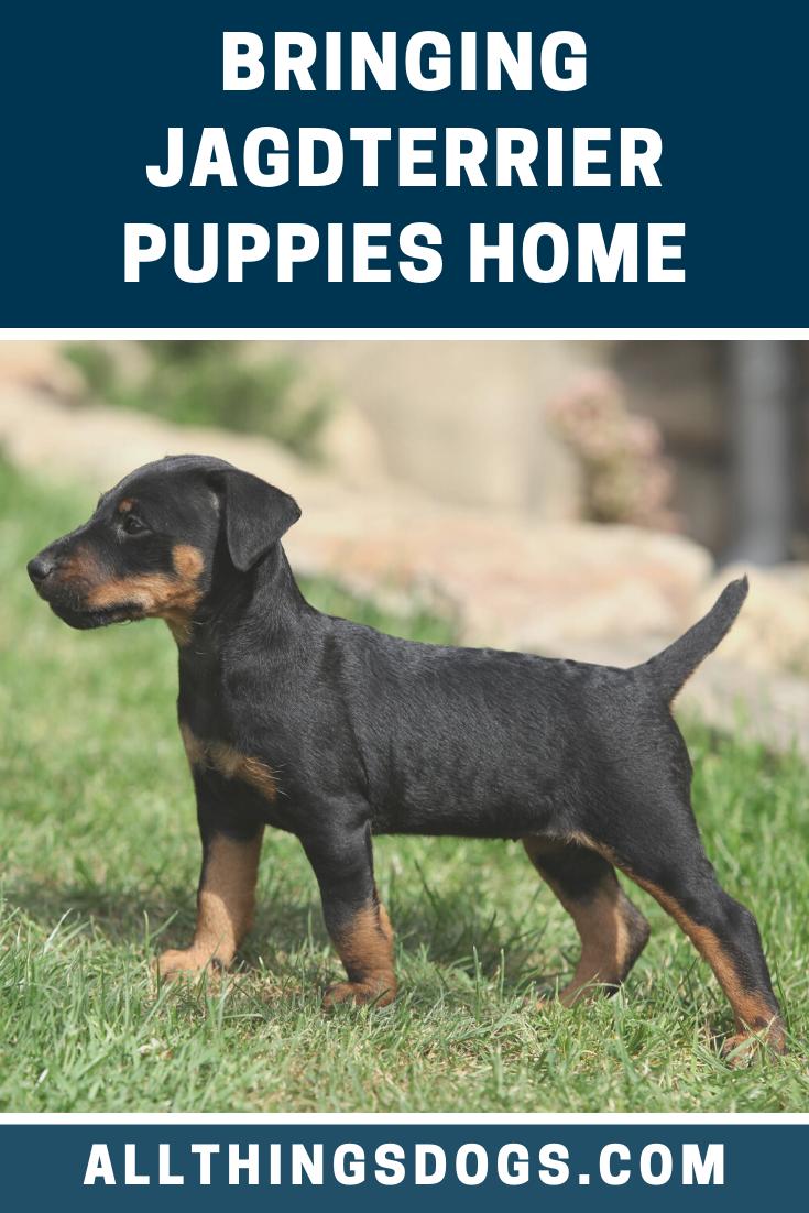 Jagdterrier Puppies In 2020 Dogs Puppies German Dog Breeds