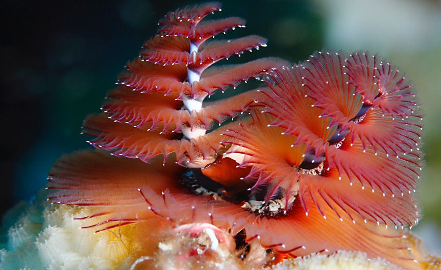 Christmas Tree Tube Worm Cozumel Mexico Creepy Crawlies Creepy Underwater Pictures