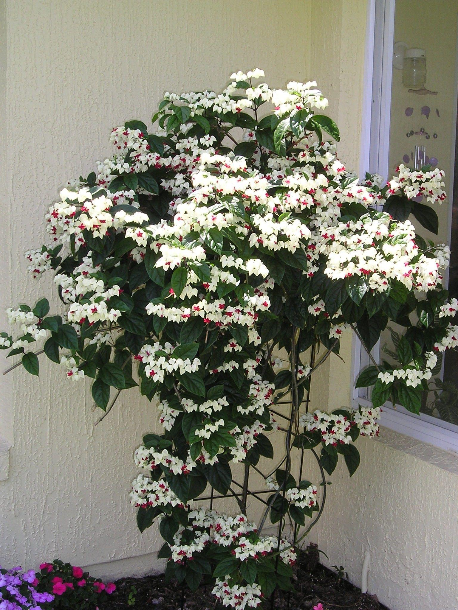 Pin by Montri Thanadkha on Flowering shrubs Pinterest Flowering