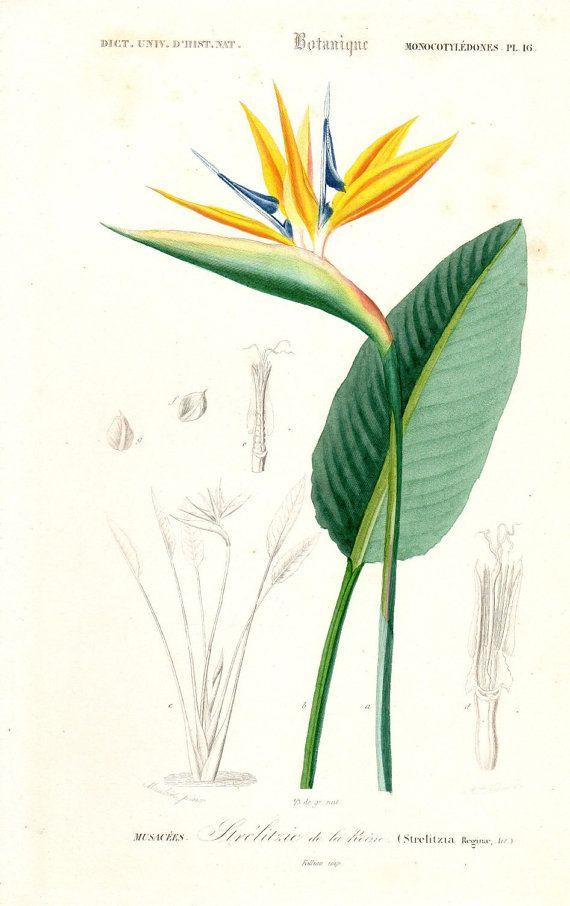 Bird Of Paradise Flower Strelitzia Reginae By Lynne Henderson Bird Watercolor Paintings Bird Of Paradise Tattoo Botanical Painting