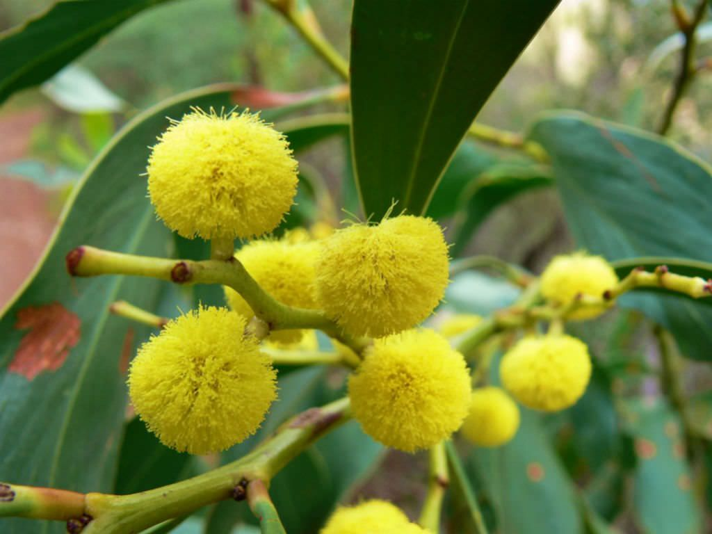 Acacia Pycnantha Is An Evergreen Tree Up To 26 Feet 7 8 M Tall And Has Phyllodes Flattened Leaf Stalks Instead Of T Planting Flowers Flowering Trees Plants
