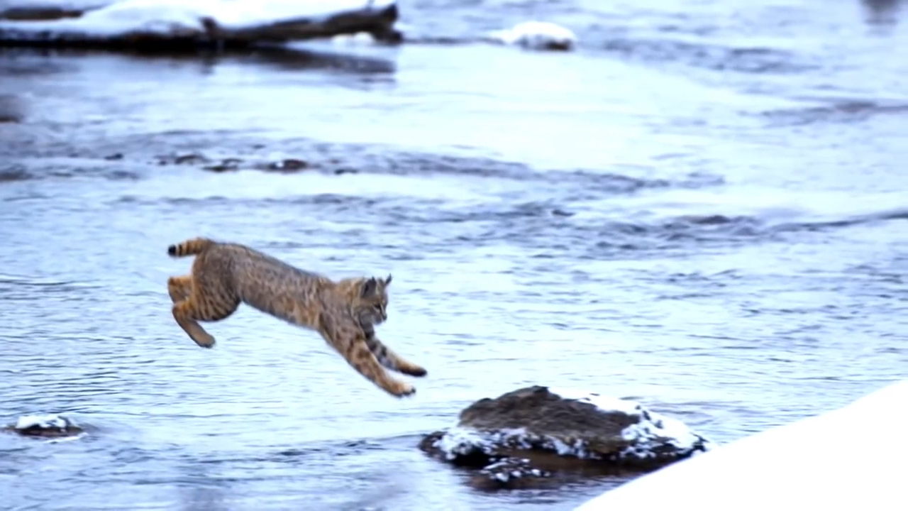 A bobcat (Lynx rufus) jumps over a river with a single leap �