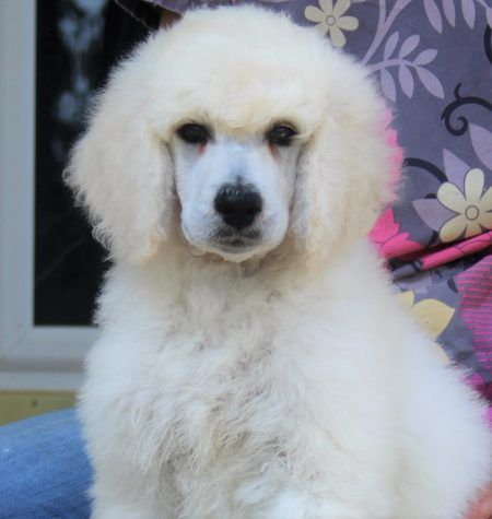 048 Satin S White Blue Polish Female Poodle Puppies For Sale