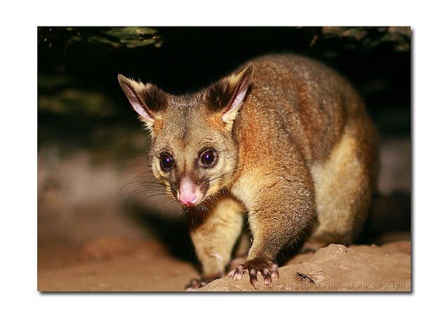 Ring Tail Possum Local Fauna Pinterest Animal