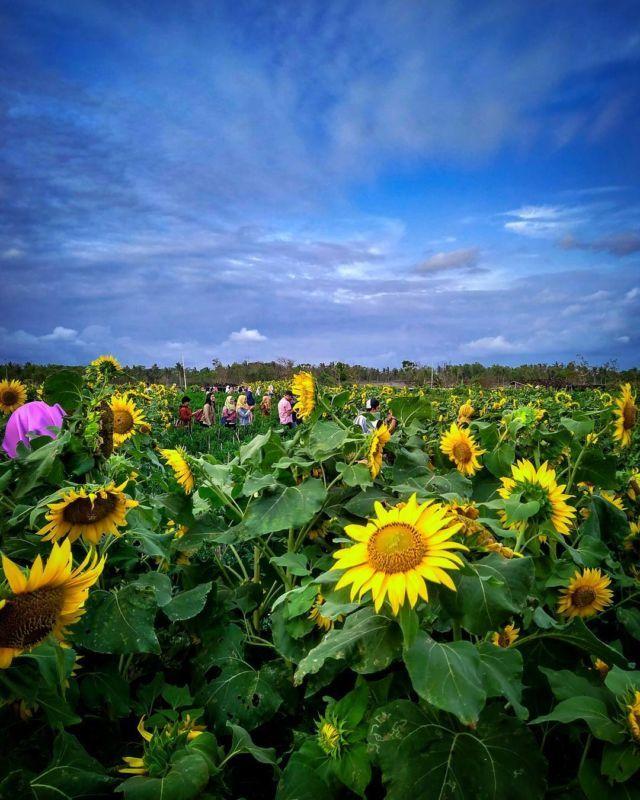 Wallpaper Hd Bunga Matahari Index Of Wp Content Uploads 2018 02 Bunga Matahari Wallpaper Muat Turun Ke Telefon Bimb Pemandangan Kebun Bunga Wallpaper Bunga