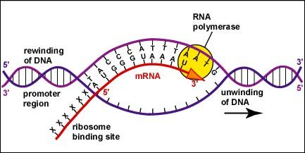 Rna Transcription Diagram