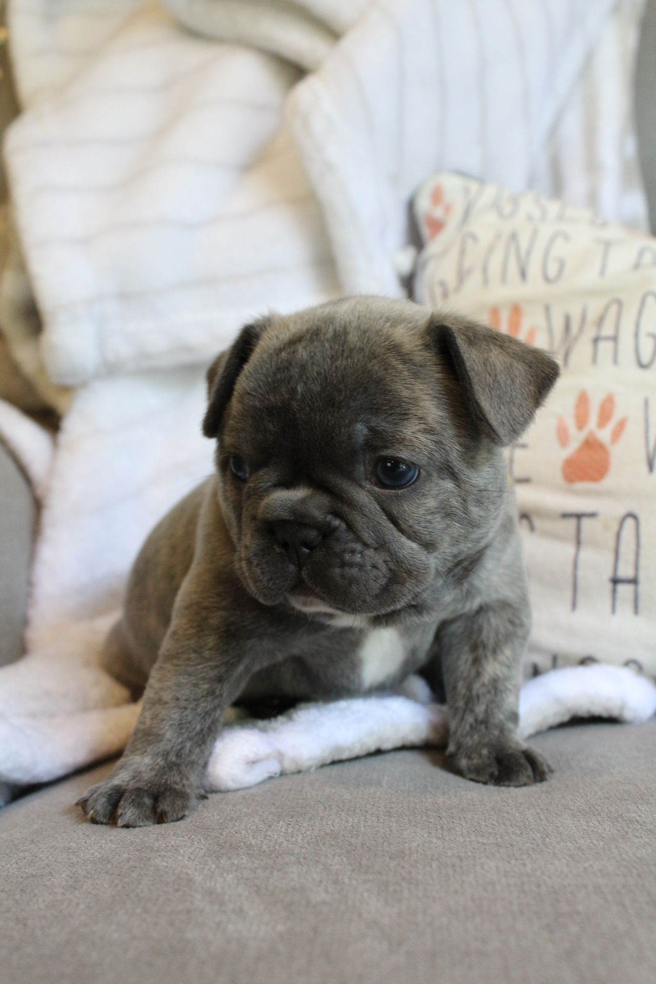 Pin by Elise ♡ on French Bulldogs French bulldog puppies