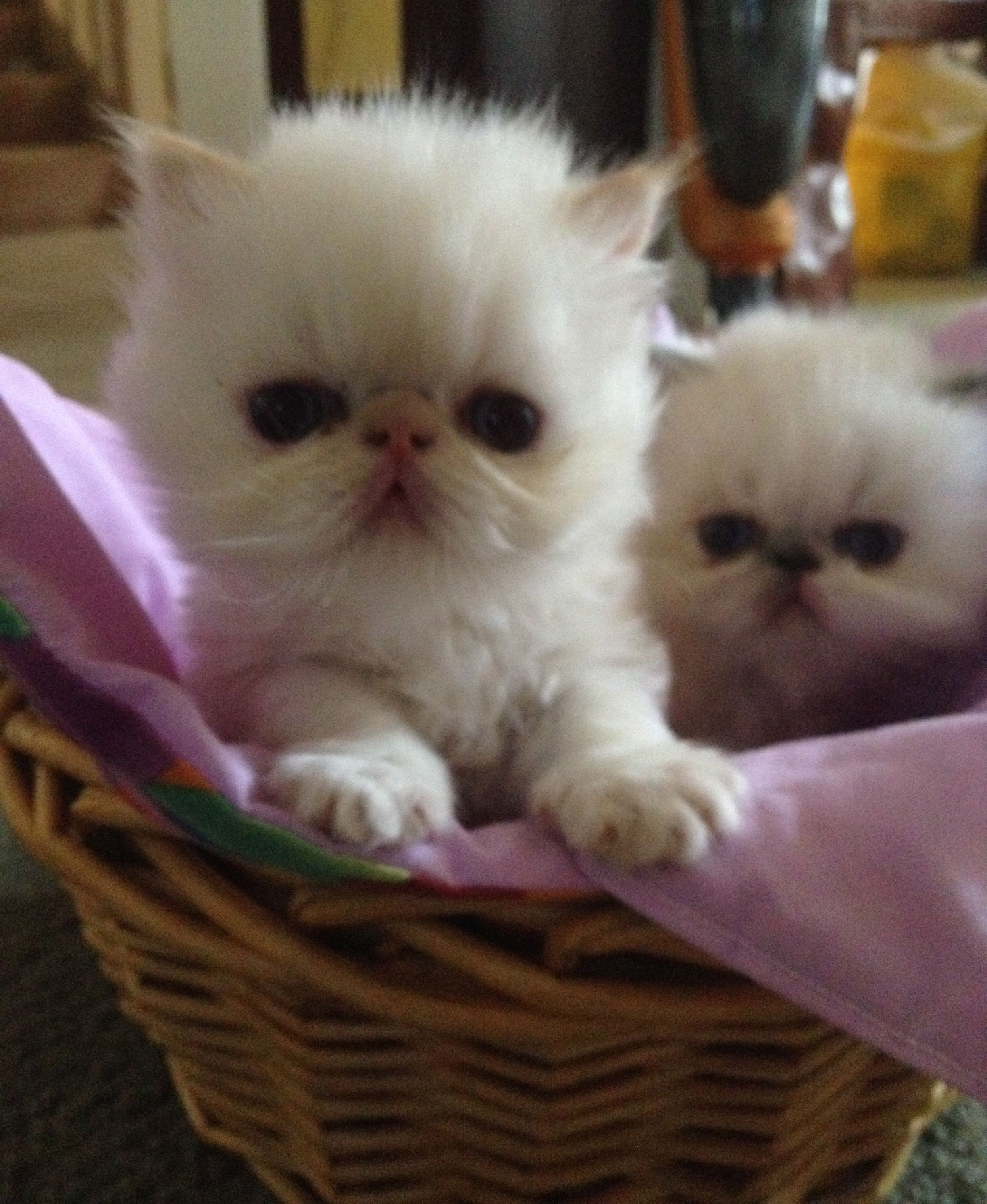 Himalayan Kittens For Sale Sydney Australia See Our Website Www Takatsucattery Com Himalayan Kitten Kittens Persian Kittens