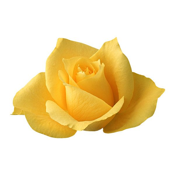 Transparent_Yellow_Rose.png ❤ liked on Polyvore featuring flowers, yellow, plants, roses, decorations, backgrounds, borders, filler and picture frame