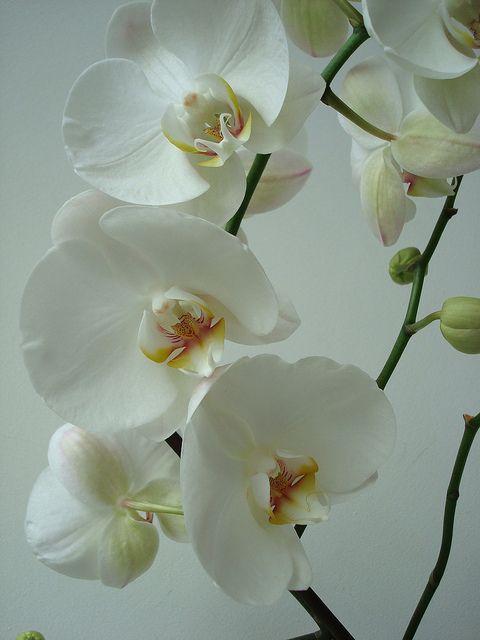 Orchide Flores y Colores de la Naturaleza 2 Pinterest Flores