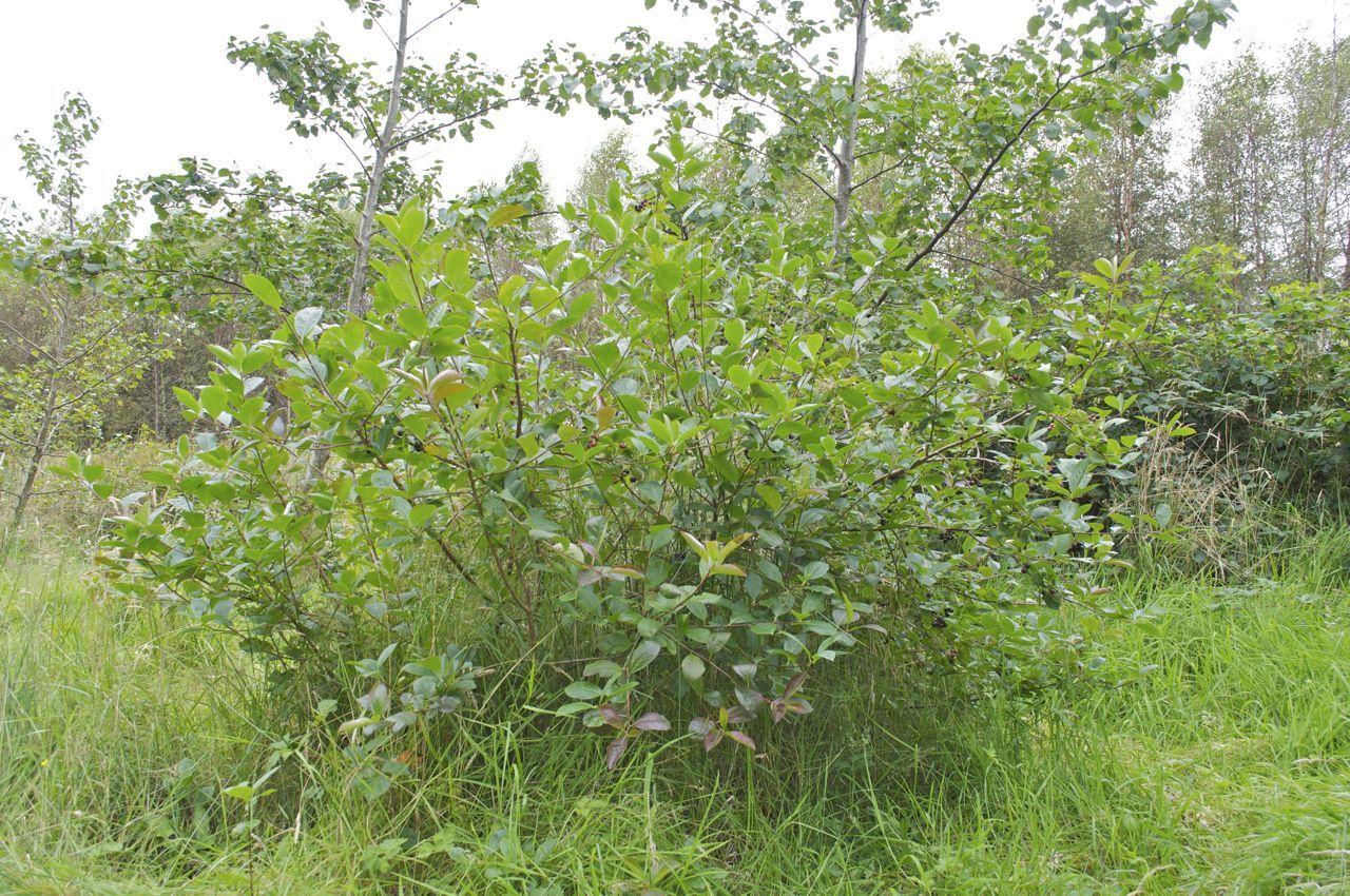 aronia prunifolia viking trees pinterest. Black Bedroom Furniture Sets. Home Design Ideas