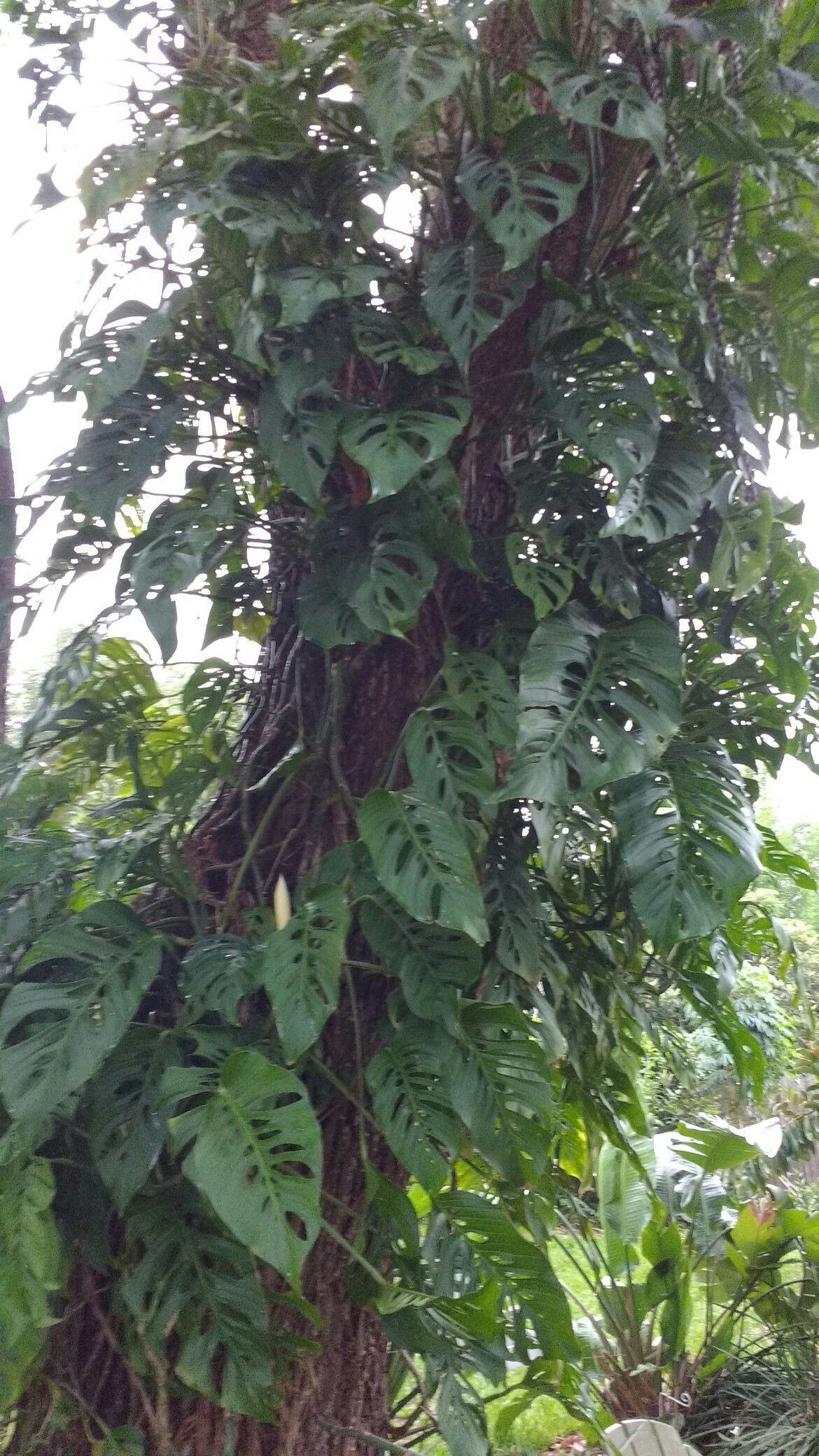 Monstera Deliciosa Davenport Fl Not Native Edible Fruits