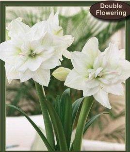 2 Double Flowering White Nymph Amaryllis Two Amaryllis Hippeastrum Double Flowering Indoor Flower Bulbs 20 24 Tal Bulb Flowers Amaryllis Indoor Flowers