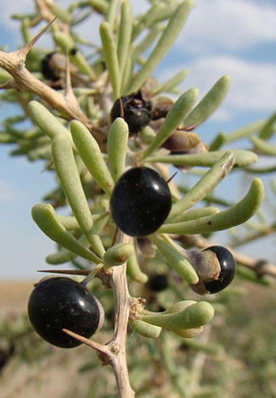 Black Goji Lycium Ruthenicum The Rare Black Goji Or Black