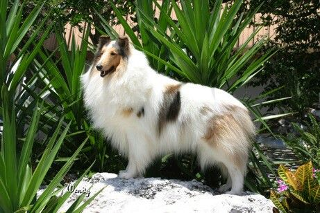 Pretty Rough Collie Rough Collie Collie Collie Dog