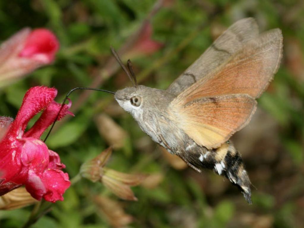 Hummingbird Hawkmoth Hawk moth, Hummingbird moth, Moth