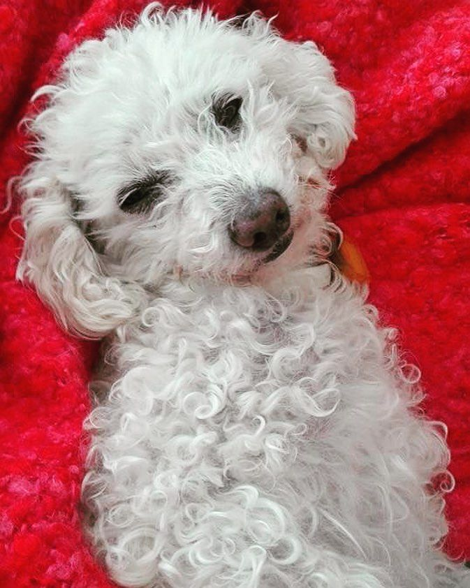 "Marisa Tabti on Instagram: ""«Schatzi au chaud», Laimbach 2019. #tierfoto #hund #chien #dog #pudel #poodle #caniche #auchaud #doglover #pudelliebe #卷毛小狗 #プードル"""