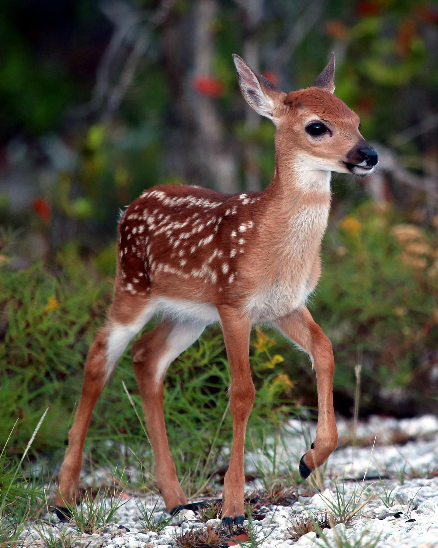 Key West The Newspaper Refuge Manager Key Deer Screwworm Threat Appears Over But We Must Remain Vigilant Cute Animals Baby Animals Pictures Baby Animals