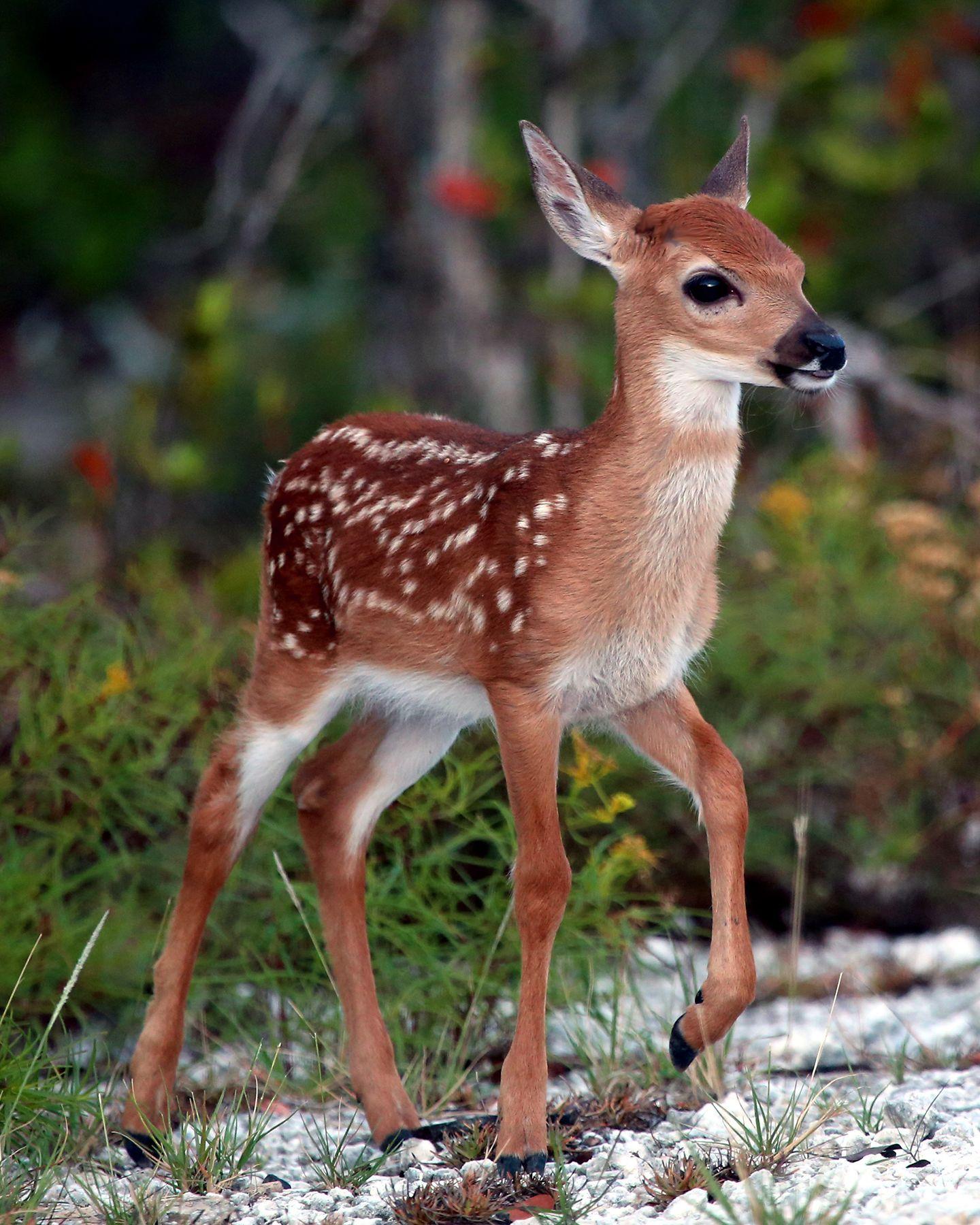 Refuge Manager Key Deer Screwworm Threat Appears Over But