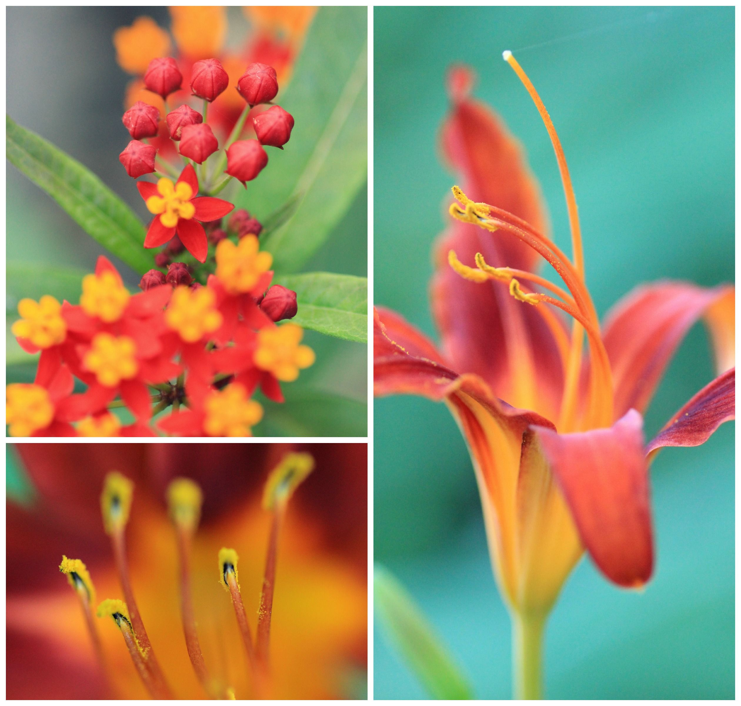 hibiscus\red\orange