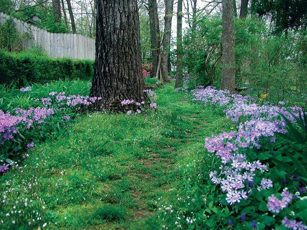 The Native Woodland Phlox Phlox Divaricata Has Naturalized Here